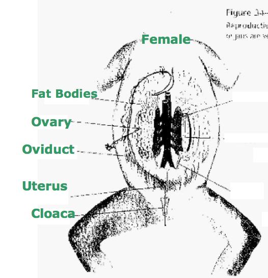 Untitled document femalerep femalereproductive ccuart Gallery